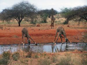 Kenia, trzy żyrafy przy wodopoju